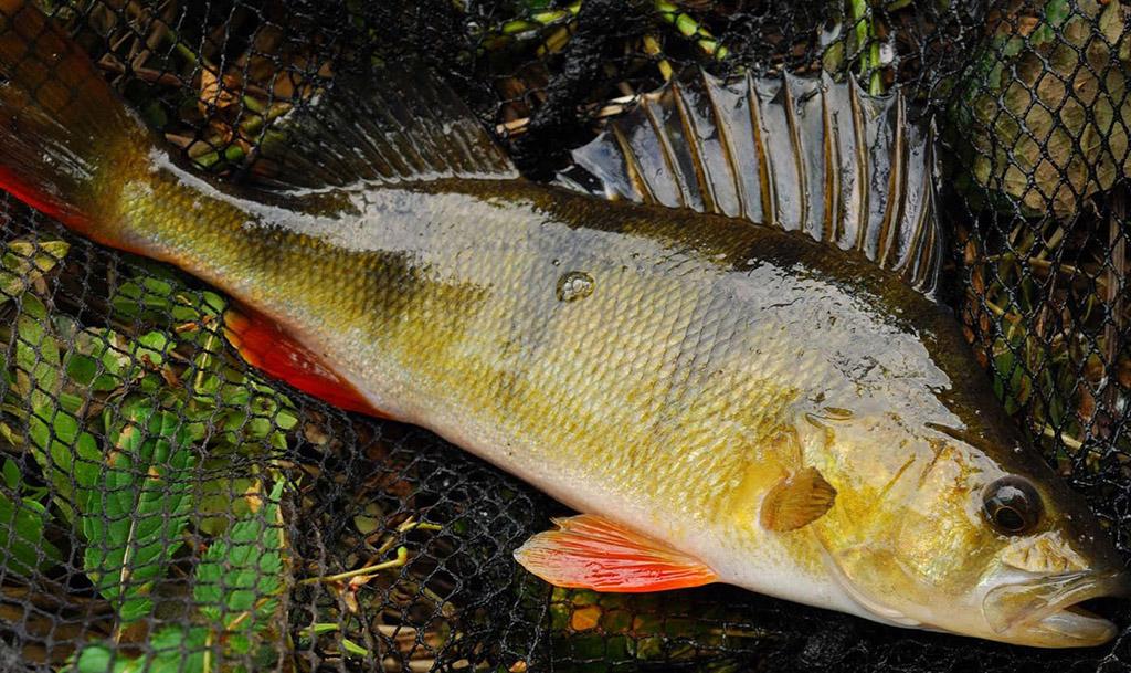 Пресноводный окунь: фото и описание рыбы, образ жизни и повадки