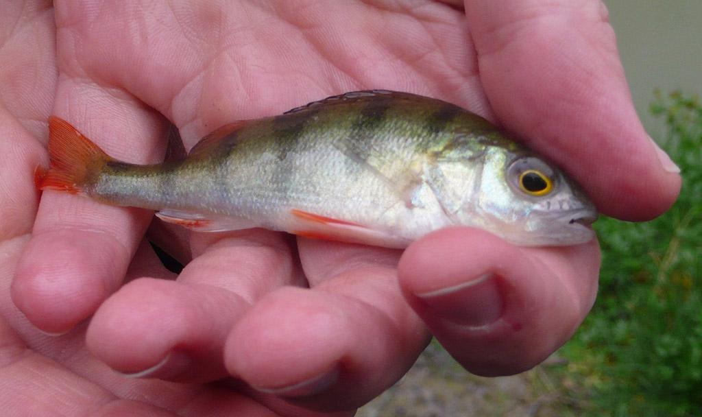 до каких размеров растет рыба толстолоб