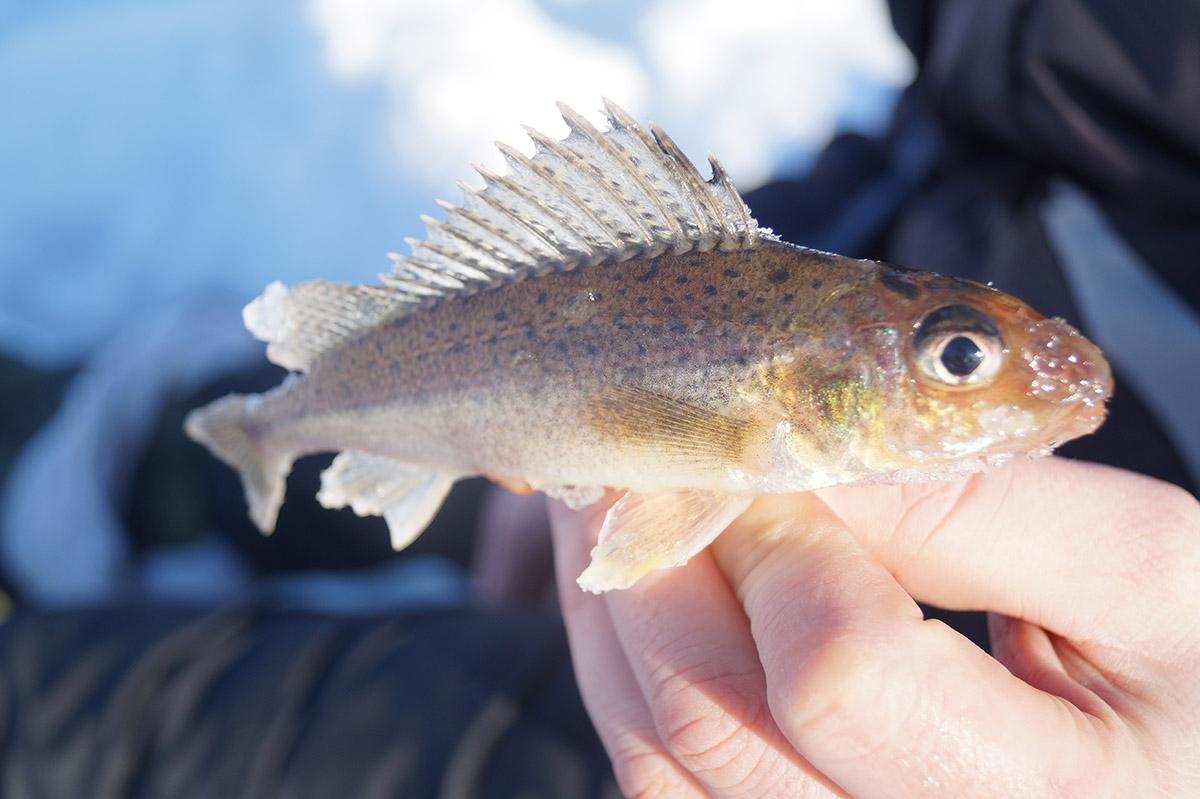 рыбка ершик картинки называемый