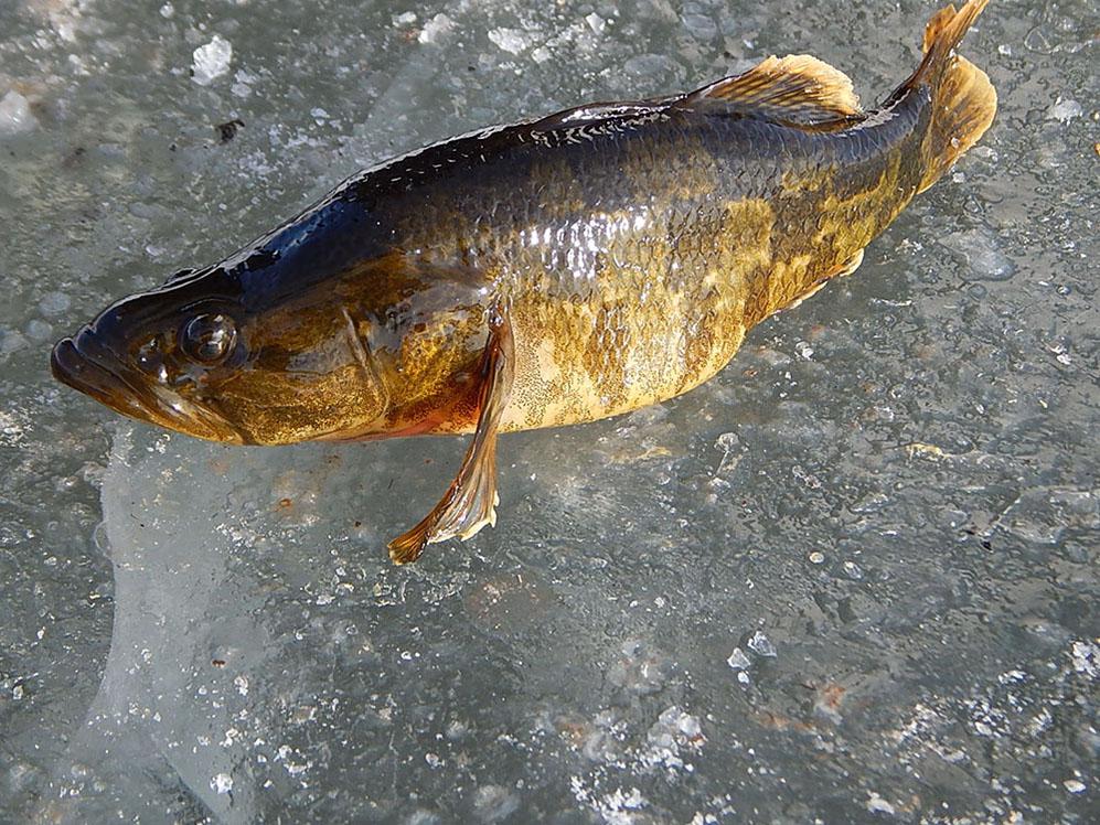 фото речной рыбы с горбинкой интересным сезонным