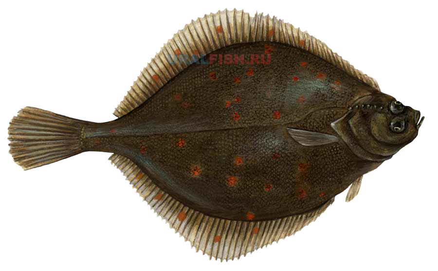 Kambala Fisch